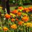 Siedem jadalnych dziko rosnących i ogrodowych roślin