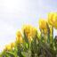 Czy warto zasadzać cebulki kwiatowe?
